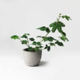 BOTANIKE - Mimosa pudica