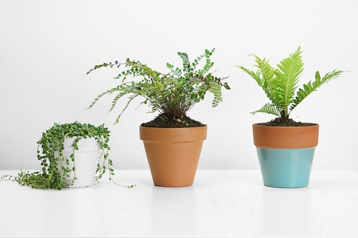 kokedama-plants