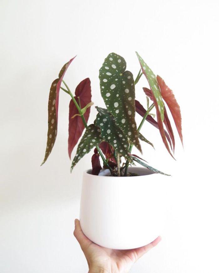 roze plant stippenplant