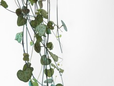 plants | greenery | indoor plants | plant care | ceropegia woodii