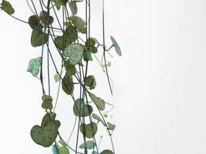 plants | greenery | indoor plants | plant care | ceropegia woodii