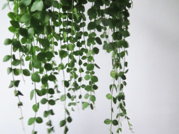 plants | greenery | indoor plants | plant care | Dischidia nummularia