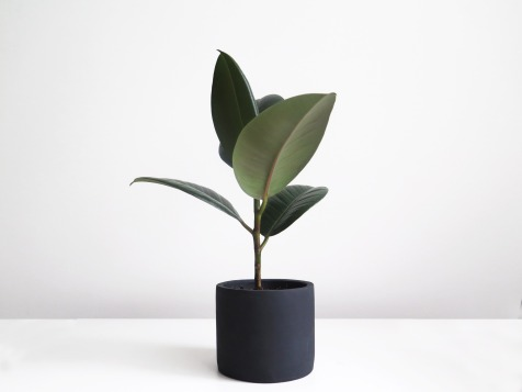 plants | greenery | indoor plants | plant care | ficus elastica