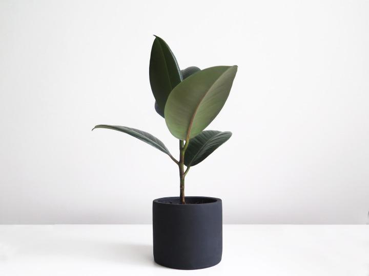 botanike_ficus-elastica