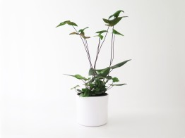 plants | greenery | indoor plants | plant care | Hemionitis arifolia