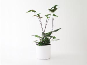 plants | greenery | indoor plants | plant care | Hemionitis arifolia
