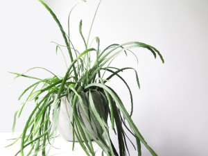 plants | greenery | indoor plants | plant care | Lepismium bolivianum