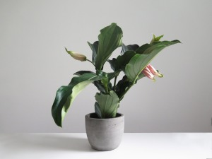 plants | greenery | indoor plants | plant care | Medinila magnifica