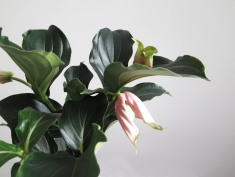 plants | greenery | indoor plants | plant care | Medinila magnifica