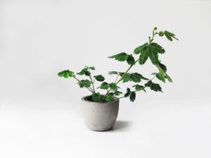 plants | greenery | indoor plants | plant care | Mimosa pudica