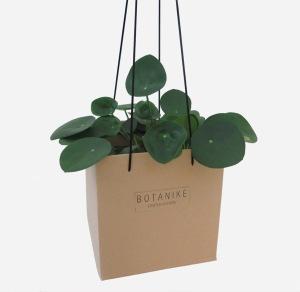 plants | greenery | indoor plants | plant care | Pilea peperomioides