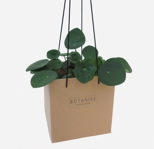 plants | greenery | indoor plants | plant care | Pilea peperomioides