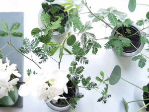 plants | greenery | indoor plants | plant care | mimosa pudica