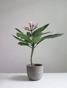 plants | greenery | indoor plants | plant care | plumeria alba