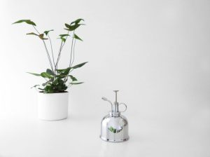 plants   greenery   indoor plants   plant care   Hemionitis arifolia