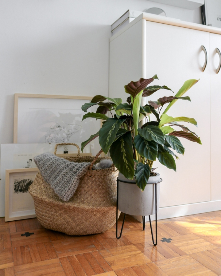 plants | greenery | indoor plants | plant care | calathea